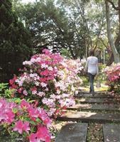 校園杜鵑盛開 美不勝收