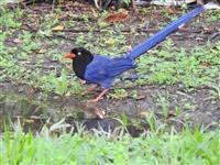 台灣藍鵲現蹤淡水校園