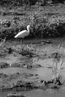紅樹林保護區擁有豐富的生態資源,是各種鳥類的棲息地。(圖�建築系提供)