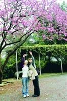 校園裡櫻花已經盛開,杜鵑也陸續開放,上圖為校友相約回校賞花。(攝影�曾煥元)