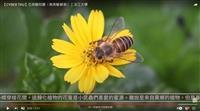 野地小黃花的魅惑 賽博頻道邀你共賞南美蟛蜞菊