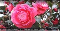 獨放早春枝 與梅戰風雪 賽博頻道帶您賞茶花
