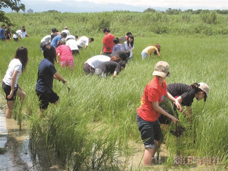 修習校園與社區服務學習課程的同學,前往關渡自然公園水田區,協助拔除雜草。(圖/學務處提供)
