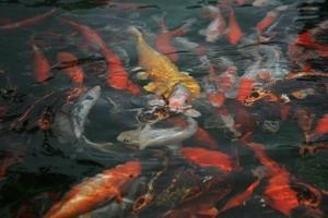 福園魚群快樂的在海博館的魚池中。(圖�涂嘉翔)