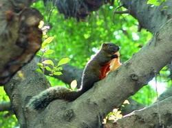 淡水校園常可看見松鼠在樹上穿梭、覓食,模樣十分可愛。(攝影�吳春枝)