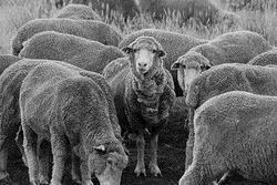塔斯馬尼亞有許多羊,在一次釣魚回家的路上被羊群包圍,由於羊群都很膽小,所以我沒下車,只在車上靜靜的與監視我的綿羊互望,等牠們全部過完馬路。(圖、文�王文彥)