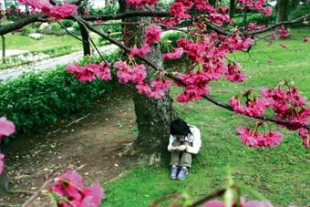 春來了 緋櫻爭豔